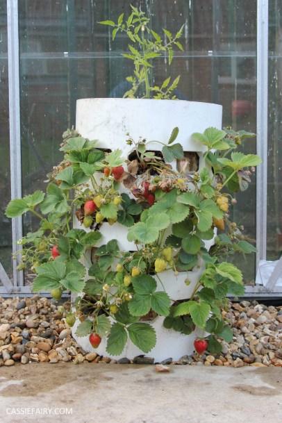 diy gardening grown your own strawberries in greenhouse_-9