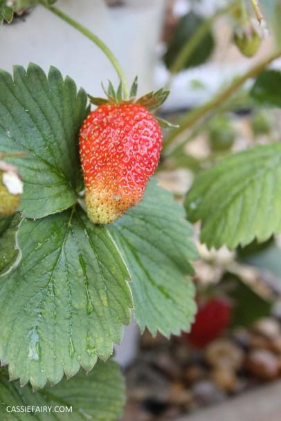 diy gardening grown your own strawberries in greenhouse_