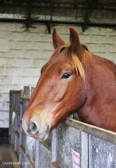 day out at the Suffolk punch trust horse visitor attraction-31