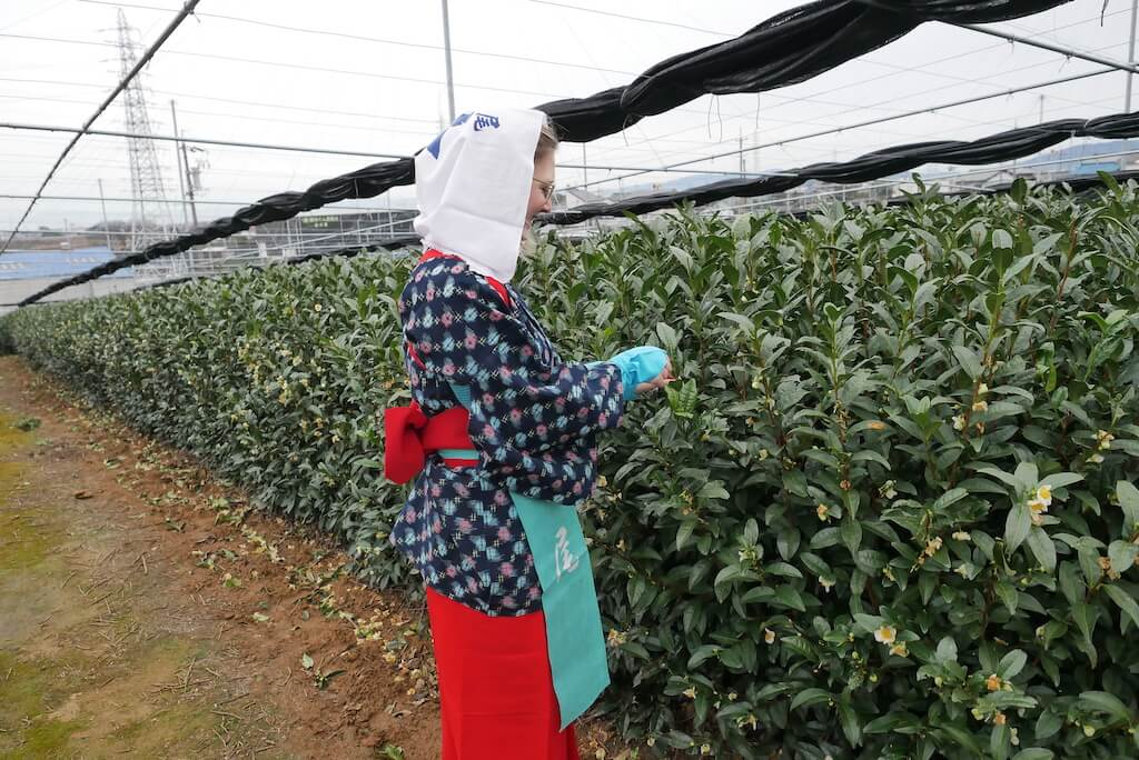 The Matcha farm experience in Japan