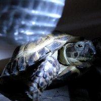 isaak the tortoise
