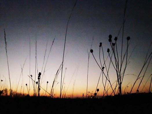 Blackberry Trail Ratibida pinnata grey-headed coneflower winter silhouette