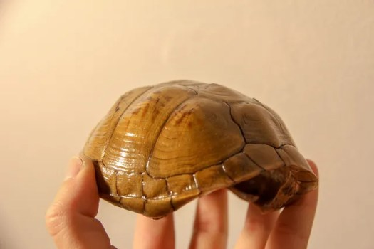 eastern box turtle shell lacquered shell