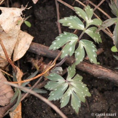 hydrophyllum-virginianum-virginia-waterleaf