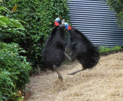 Two male cassowaries fighting