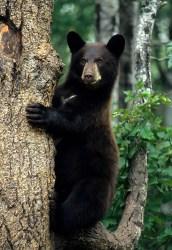 Bear Chair web