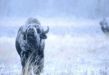 Buffalo 60-7-16