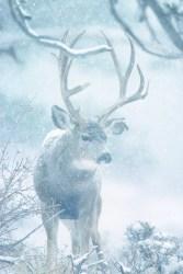 Mule Deer Snow