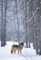 Wolf 600-9-20