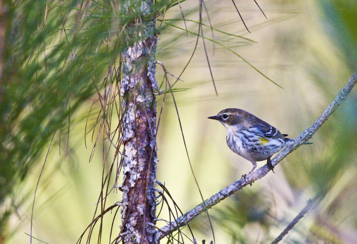 Warbler Long Key Trail