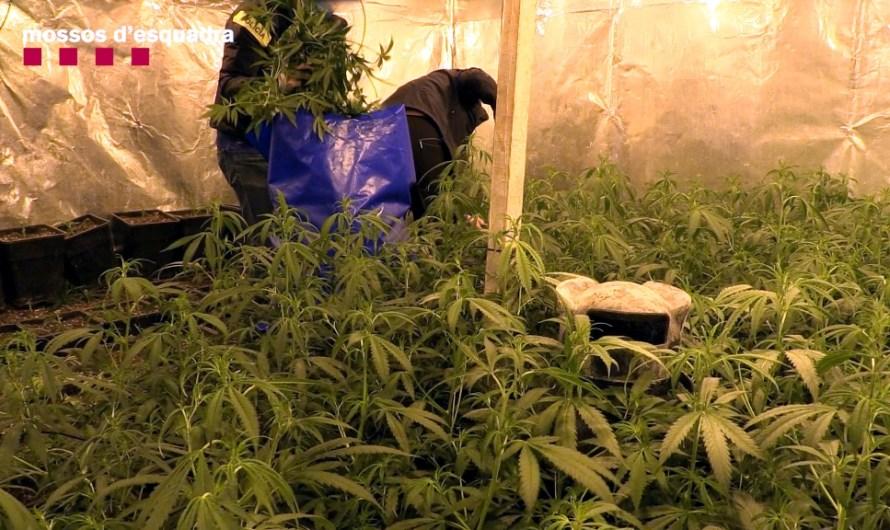 Cau un grup criminal dedicat al cultiu de marihuana en naus industrials: 26 detinguts i decomissat 1 MEUR en drogues