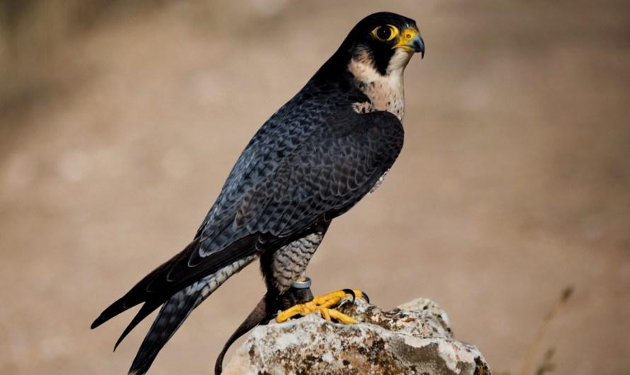 El falcó pelegrí colonitza una nova àrea al Parc Natural de Montserrat