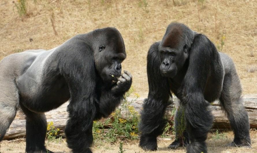 Un estudi revela que els cops al pit dels goril·les de muntanya n'indiquen la mida i la capacitat competitiva