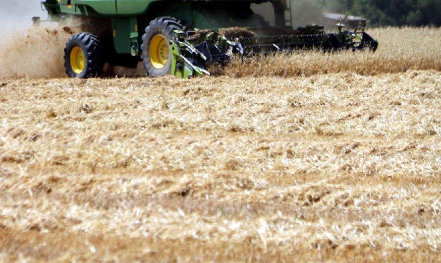 El Pla de Bages i l'Anoia registren la pitjor campanya del cereal de l'última dècada per culpa de la sequera