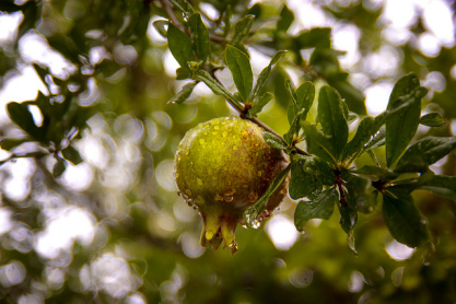 Fruit-of-the-tree