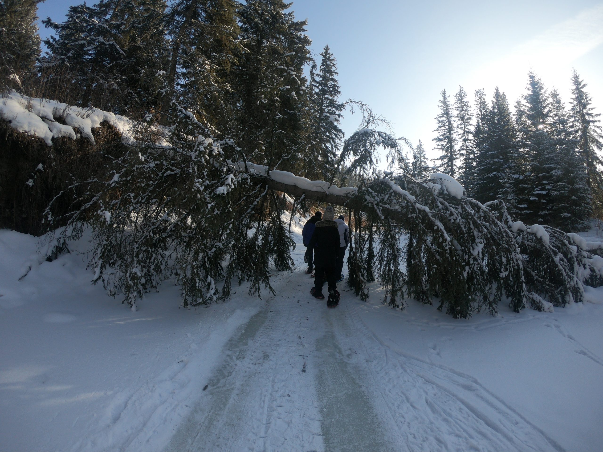 Three people snowshoeing under a large fallen tree.