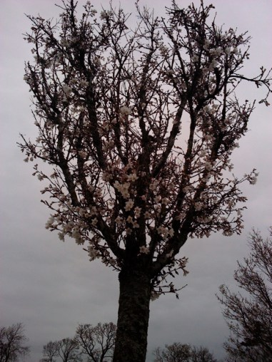 Lauriston 2014 Mar blossom