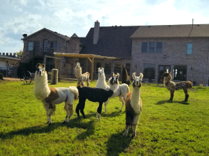 Llamas at Castle Waterford