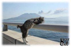 кошка-без-хвоста-фото