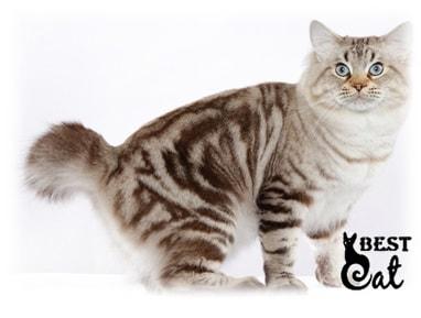 кот-без-хвоста-фото
