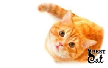 рыжая-кошка-фото