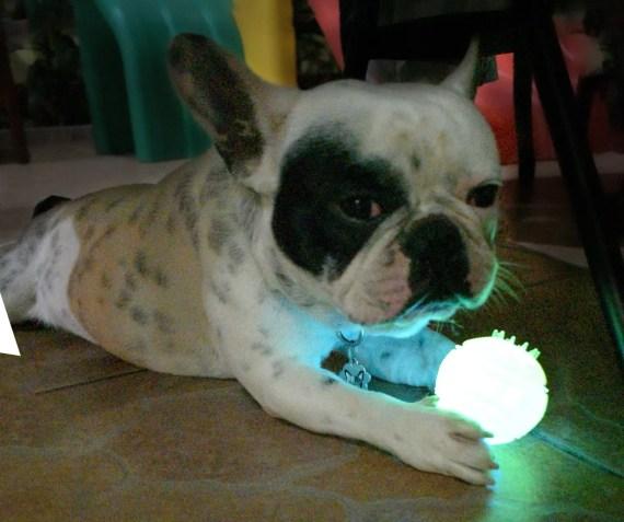 bulldog frances con pelota led para perros con luces en miraflores surco lima peru