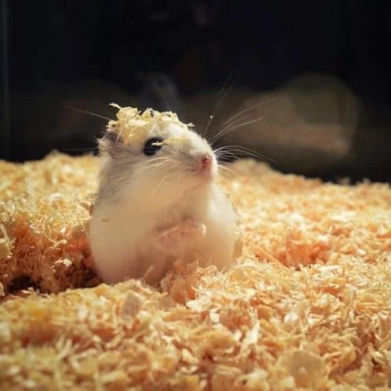 viruta para hamster lima peru