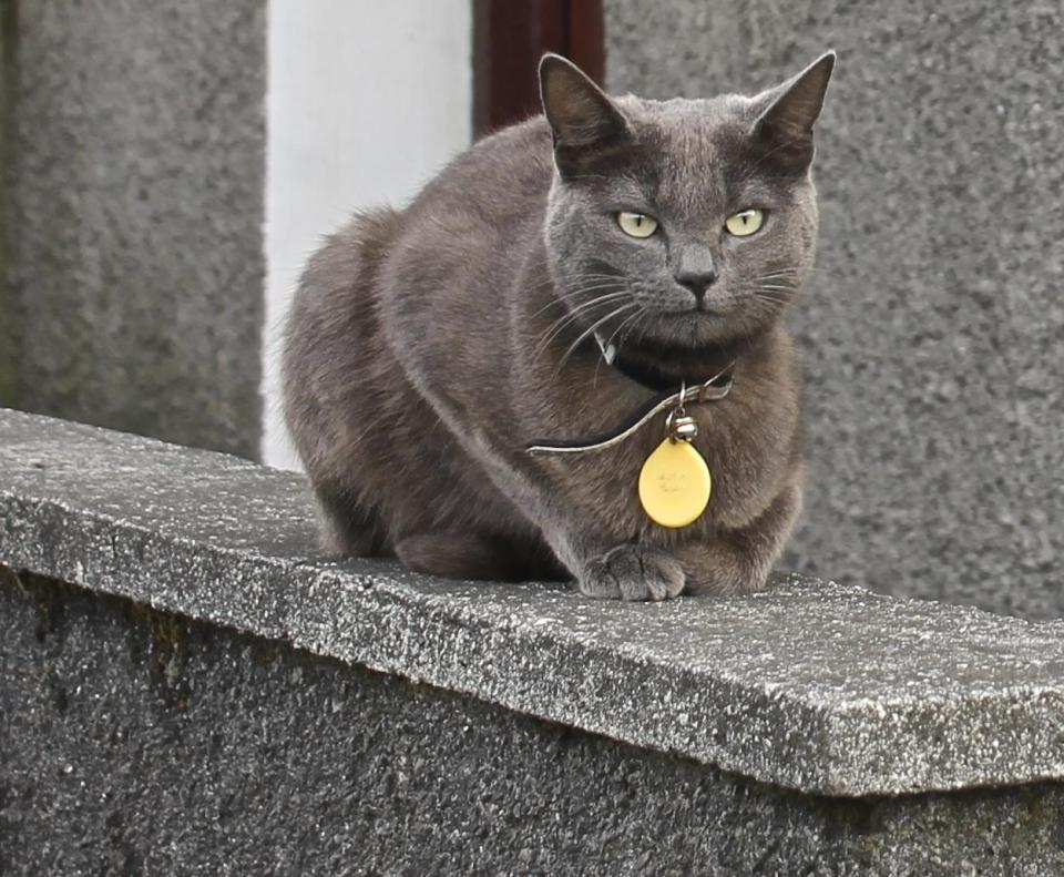 Gray cat sitting on a wall, waiting
