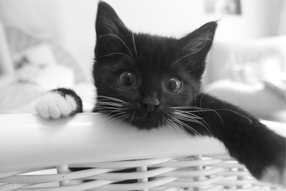Black kitten in basket