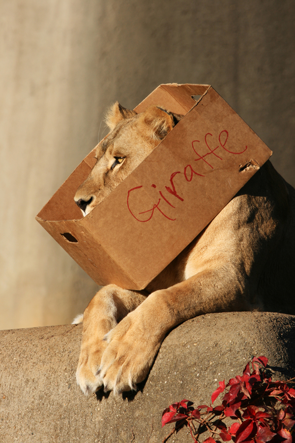 Big cats and boxes A lion stuck in a box marked for a giraffe
