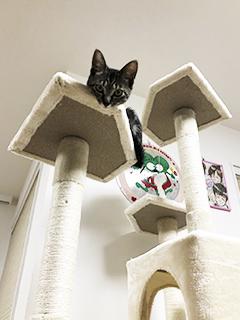 くーちゃんキャットタワーで遊ぶ