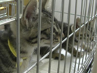 保護猫のピッコロ