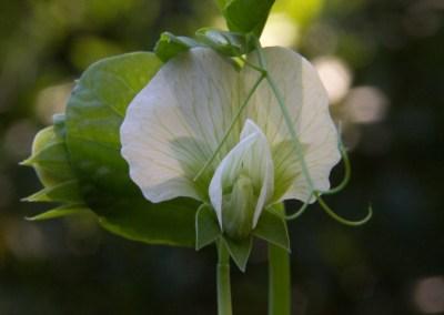 Flowering Snap Pea