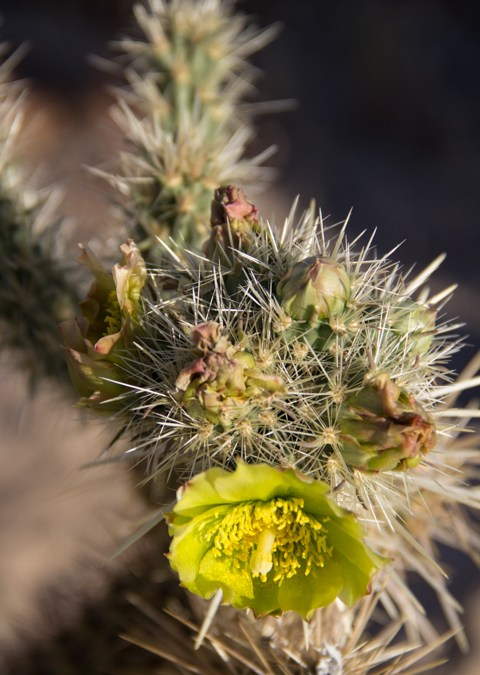 Flowers and buds – cholla cactus