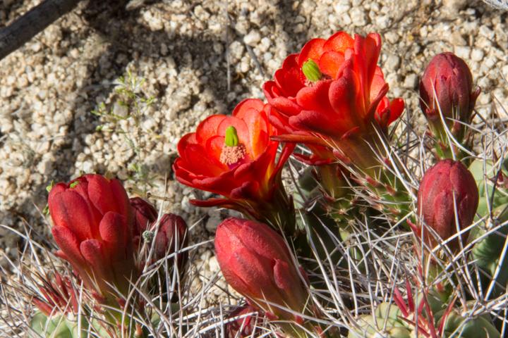 Claret-cup cactus