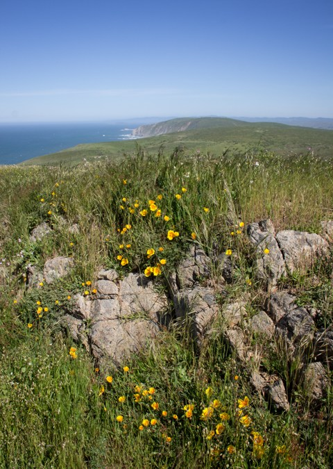 California poppies overlooking Tomales Point, Point Reyes