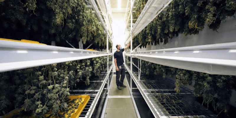 Reducing Labor and Trichome Degradation with Drying and Curing Solutions