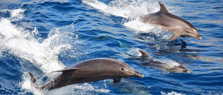 Tenerife dolphin watching