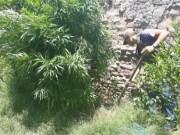 Policia de Catamarca, Plantas de marihuana