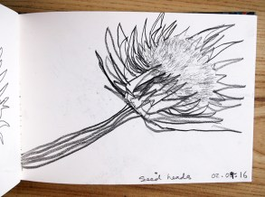 Cardoon Seedhead, graphite pencil, © Catherine Cronin