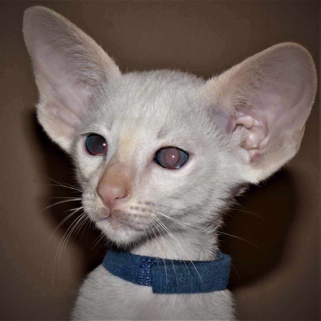 Siamese kitten for sale from Cataristocrat Scout