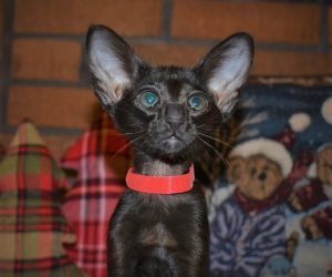 Oriental short-hair kitten for sale from Cataristocrat featured