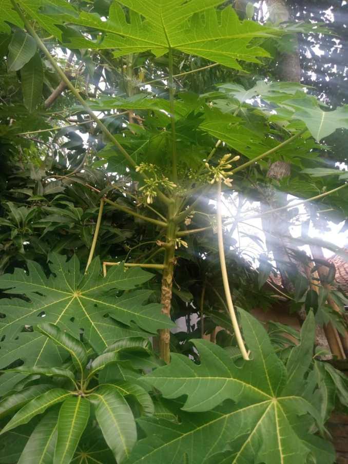 Bunga pepaya jantan