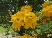 Aromi hybrid azaleas, or Florida azaleas