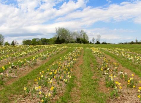 daffodil mania