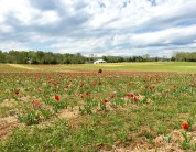 the view over the tulip field