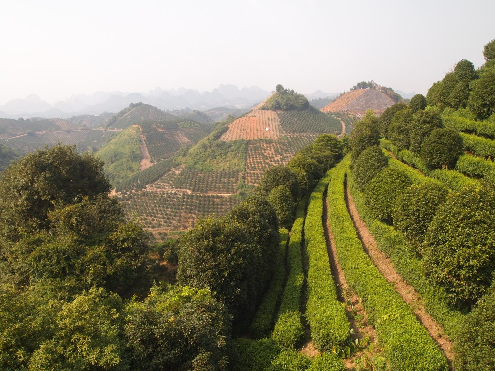 the seven star tea plantation and return to yangshuo (2/6)