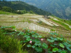 lotus blossoms at the Longji Rice Terraces