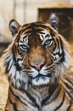 domestic cats share 95.6% of DNA with tigers