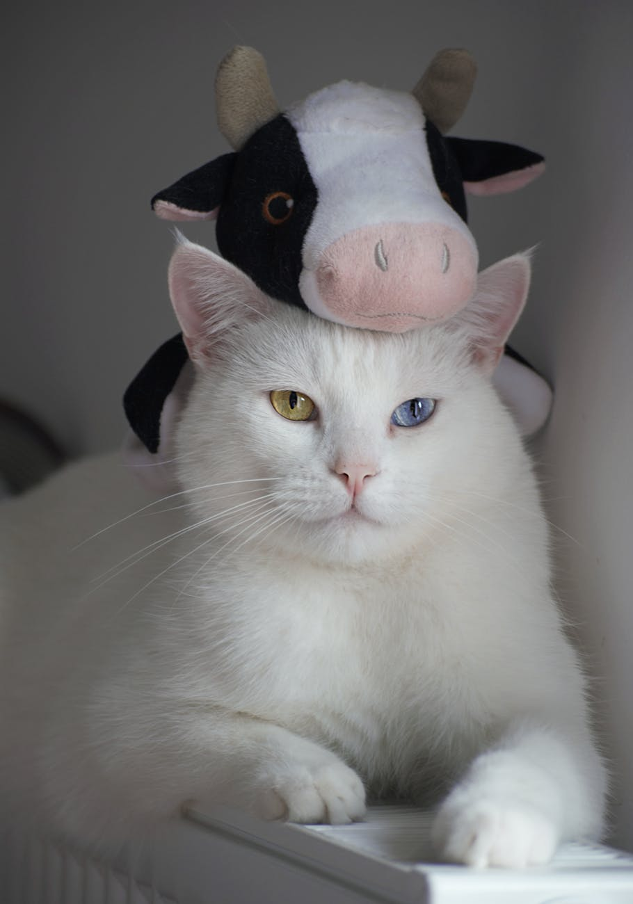 white cat with stuff toy on head
